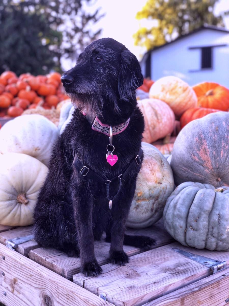 why does pumpkin help dog diarrhea